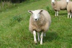 Schafe im Voraus auf dem Graben Stockbild