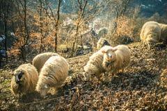 Schafe im Wald Lizenzfreie Stockfotos
