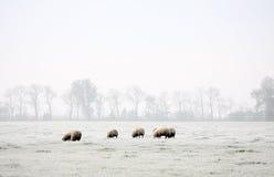 Schafe im Winter Stockbilder