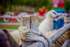 Schafe im Zaun Lizenzfreies Stockfoto