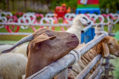 Schafe im Zaun Stockfotos