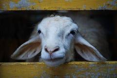 Schafe im Zoo Stockbild