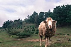 Schafe innerhalb eines Pöbels im Berg beim Essen des Grases Stockfotos