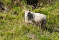 Schafe in Island Lizenzfreies Stockfoto