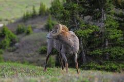 Schafe. Kanadische Rockies. stockfotos