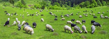 Schafe Karpaten Stockfotos