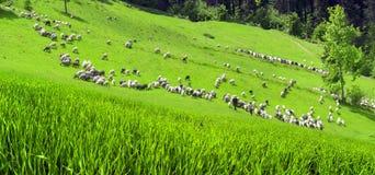 Schafe Karpaten Stockfotografie