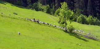 Schafe Karpaten Stockfoto