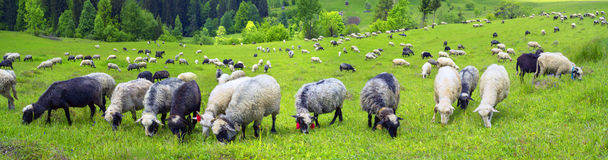 Schafe Karpaten Lizenzfreies Stockbild