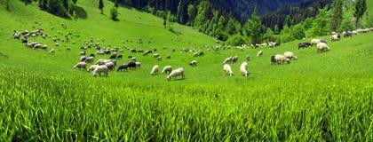 Schafe Karpaten Stockbild
