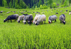 Schafe Karpaten Lizenzfreies Stockfoto