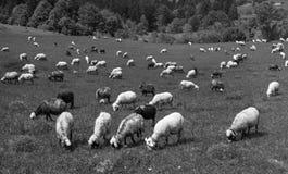Schafe Karpaten Stockbilder