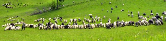 Schafe Karpaten Lizenzfreie Stockfotos