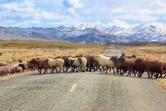 Schafe kreuzen die Straße stockbild