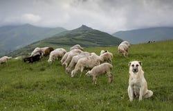 Schafe in ländlichem Armenien stockbilder