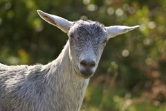 Schafe am La Palma Stockbilder