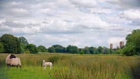 Schafe, Lamm und Wymondham-Abtei Stockfotos