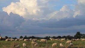 Schafe, Landschaft, Graben, Wolken stock footage