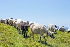 Schafe lassen auf den Steigungen der ukrainischen Karpaten weiden Vor dem hintergrund des grünen Grases und des blauen Himmels Stockfotografie