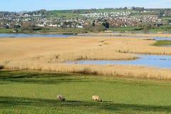 Schafe lassen auf einem Ackerland weiden Stockfotografie
