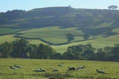 Schafe lassen auf einem Ackerland weiden Lizenzfreie Stockfotos