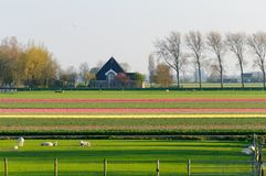 Schafe lassen auf einem Gebiet nahe einem Tulpenfeld weiden Stockbild