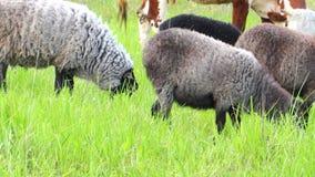 Schafe lassen auf Wiese weiden stock video