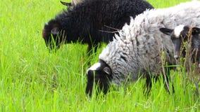 Schafe lassen auf Wiese weiden stock footage