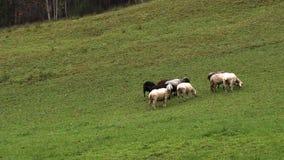 Schafe lassen in den Bergwiesen, Bayern weiden stock video footage