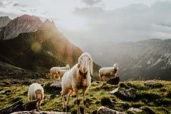 Schafe lassen an der Gebirgshütte Innsbrucker Hutte weiden Stockbild
