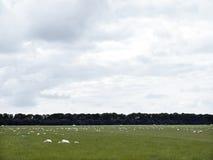 Schafe lassen in der grünen grasartigen Wiese nahe Emmeloord im netherl weiden Lizenzfreie Stockfotografie