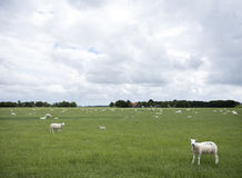 Schafe lassen in der grünen grasartigen Wiese nahe Emmeloord im netherl weiden Stockfoto