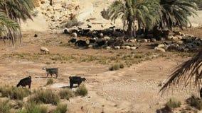 Schafe lassen in einer Oase der tunesischen Wüste weiden stock video