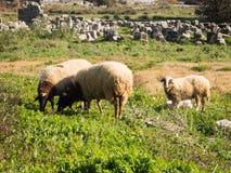 Schafe in Limyra, die Türkei Stockbilder
