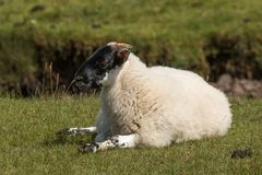 Schafe Loch sunart Schottland Vereinigtes Königreich Europa stockfotografie