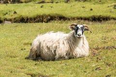 Schafe Loch sunart Schottland Vereinigtes Königreich Europa lizenzfreies stockbild