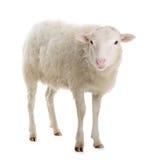 Schafe lokalisiert auf Weiß Lizenzfreie Stockbilder
