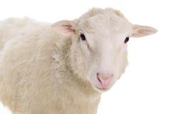 Schafe lokalisiert auf Weiß Lizenzfreie Stockfotografie
