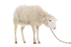 Schafe lokalisiert auf Weiß Stockfoto
