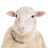 Schafe lokalisiert auf Weiß Lizenzfreie Stockfotos