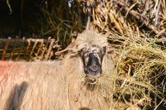 Schafe lokalisiert von der Herde, die Heu innerhalb der Schäferei isst Stockfoto