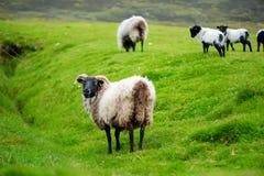 Schafe markiert mit der bunten Färbung, die in den blühenden Landschaften von Irland weiden lässt stockbild