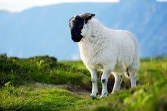 Schafe markiert mit der bunten Färbung, die in den blühenden Landschaften von Irland weiden lässt stockfotos