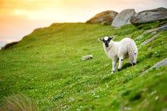Schafe markiert mit der bunten Färbung, die in den blühenden Landschaften von Irland weiden lässt lizenzfreies stockbild