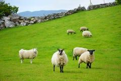 Schafe markiert mit der bunten Färbung, die in den blühenden Landschaften von Irland weiden lässt lizenzfreies stockfoto