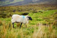 Schafe markiert mit der bunten Färbung, die in den blühenden Landschaften von Irland weiden lässt lizenzfreie stockfotos