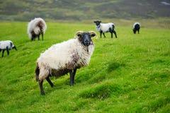 Schafe markiert mit der bunten Färbung, die in den blühenden Landschaften von Irland weiden lässt stockbilder