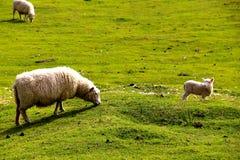Schafe mit Babylamm Stockfotos