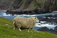 Schafe mit dichter Wolle Stockbilder