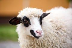 Schafe mit dunklen Augen lizenzfreie stockbilder